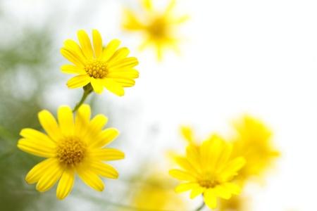 Yellow flower of Dahlberg daisy