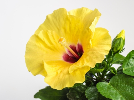 yellow stamens: Bright yellow hibiscus