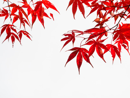 Bright red Japanese maple Stock Photo