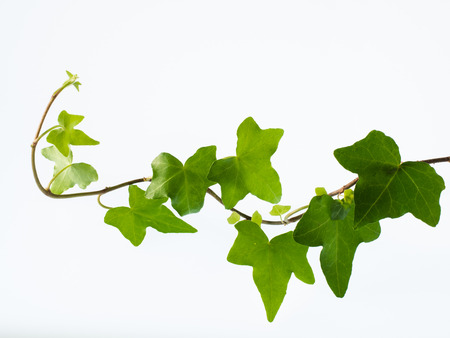 Leaves of green ivy