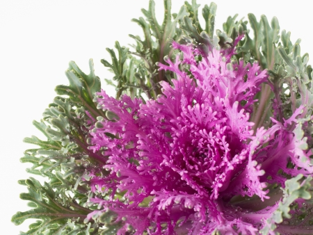 flowering kale: Ornamental cabbage of the leaf which curled Stock Photo