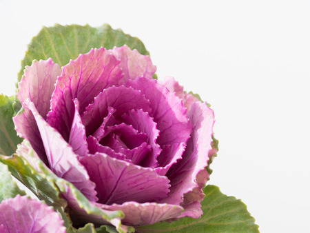 flowering kale: Beautiful ornamental cabbage