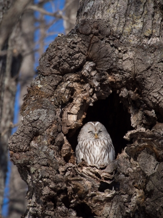 Ezo owl of the forest photo
