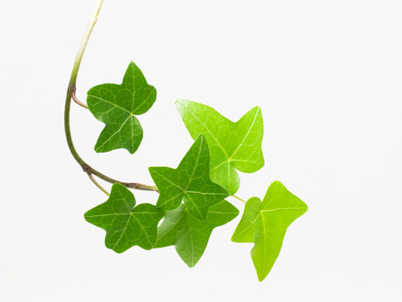 Green ivy leaf - Pittsburgh