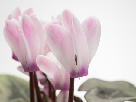Beautiful pink cyclamen