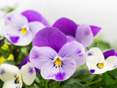 Small Lovely pansy photo