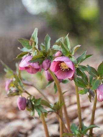 Purplish red Lenten rose