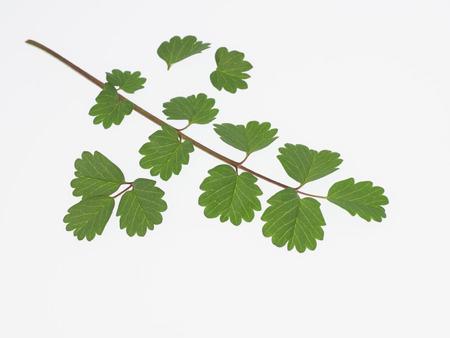 sanguisorba: Green Salad Burnet