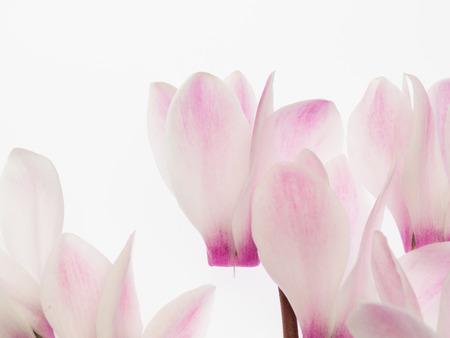 光のピンク色のシクラメン