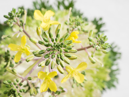 flowering kale: Flower bud of the ornamental cabbage Stock Photo