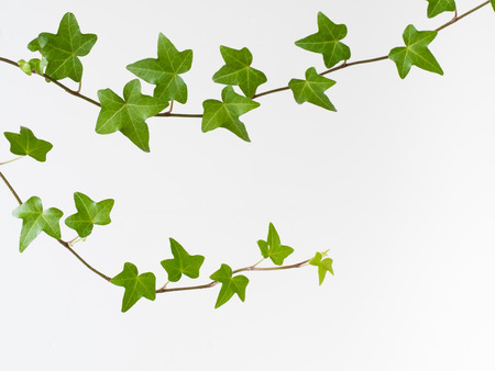 Refreshing green liana