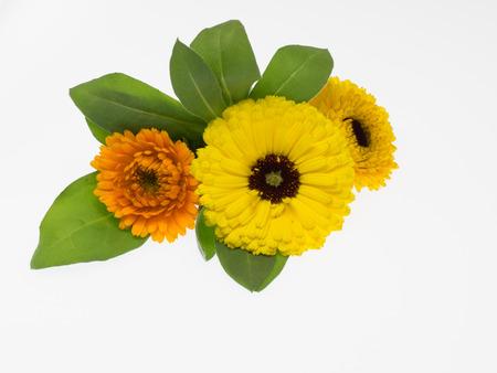 pot marigold: Natural pot Marigold