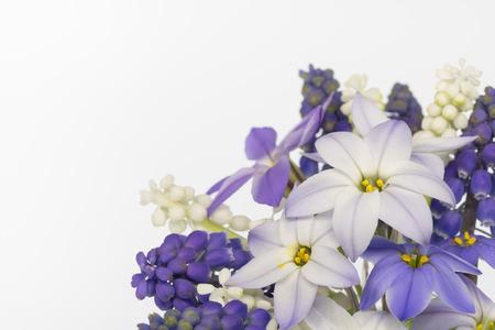 Spring starflower and Grape hyacinth Stock Photo