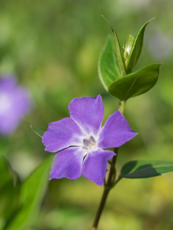 greater: Greater periwinkle