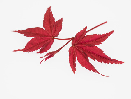 Leaf and sprout of the Nomura maple