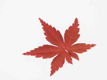 red maple leaf: Bright red maple leaf Stock Photo