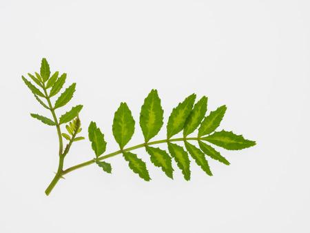 rutaceae: Permiso joven del pimiento japon�s