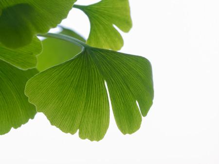early summer: Green ginkgo in early summer