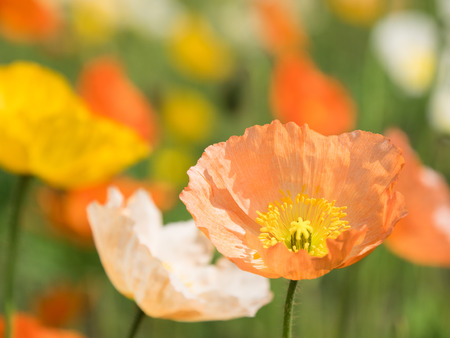 Lovely Iceland poppy