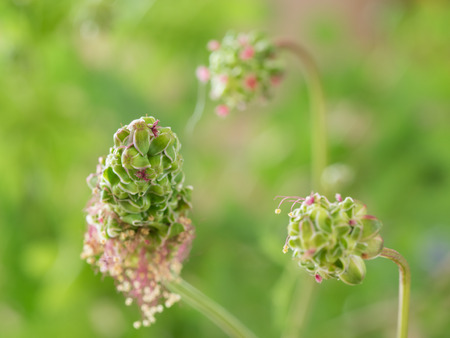 sanguisorba: Pretty flower of the salad bar net Stock Photo
