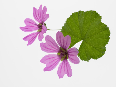 Flower and leaf of common mallow Stock Photo