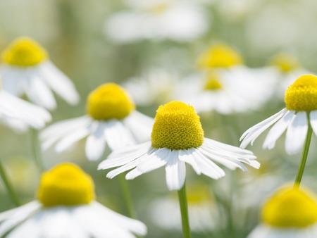 German chamomile in full blossom photo
