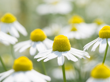 German chamomile in full blossom