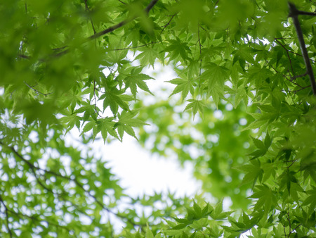 Fresh green maple leaf in forest photo