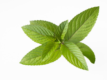 Dark green Leaf of the Black peppermint Stock Photo