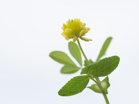 leguminosae: Pretty small hop trefoil of the field Stock Photo