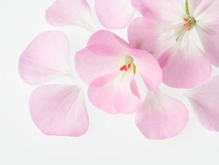 Beautiful light pink geranium photo