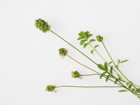 sanguisorba: Pretty flower of the salad bar net Stock Photo