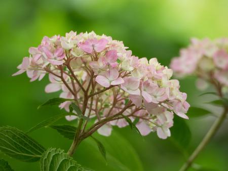 hydrangea macrophylla: Pink Hydrangea macrophylla in forest Stock Photo