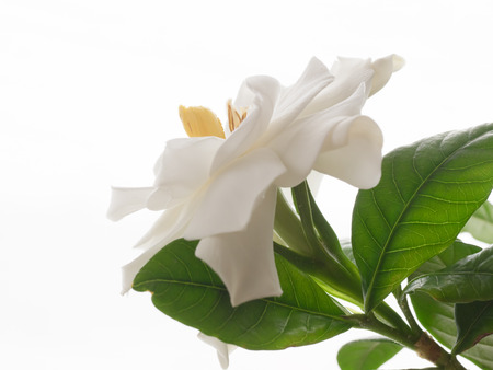 gardenia: Beautiful white gardenia