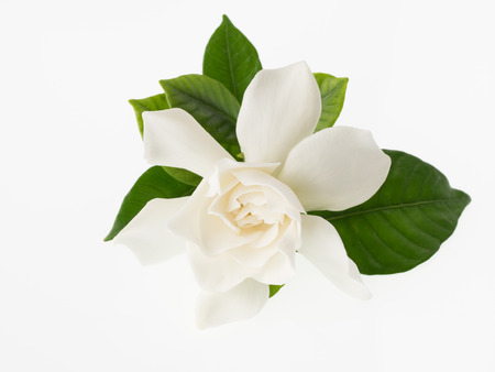 Beautiful white gardenia isolated on white background 版權商用圖片