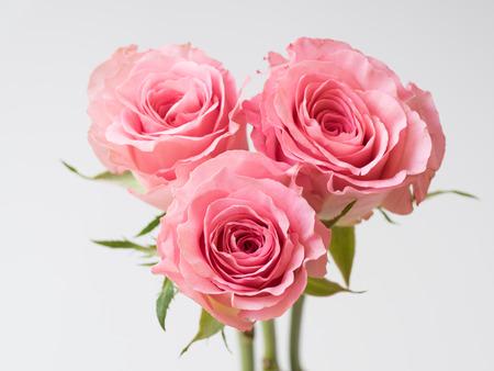Beautiful pink rose on white background Zdjęcie Seryjne