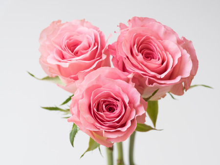 Beautiful pink rose on white background Stock Photo