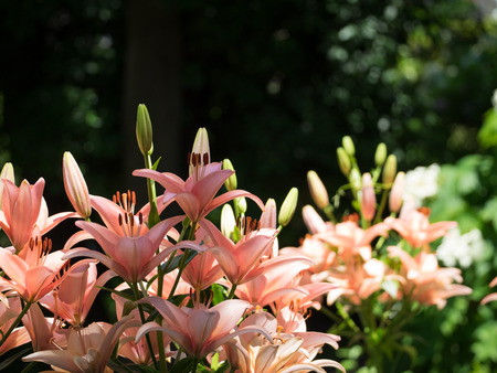 early summer: Beautiful lily in the sunlight of the early summer Stock Photo