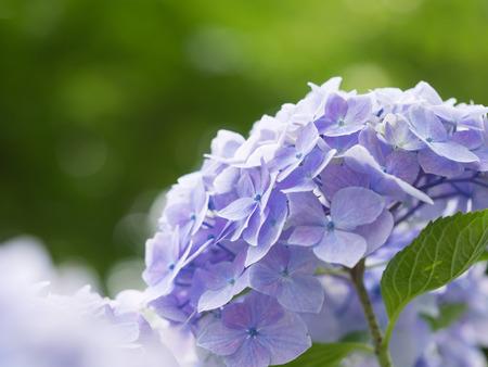 early summer: Beautiful Light purple hydrangea in early summer
