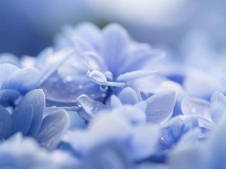 Beautiful hydrangea and rainy drop photo