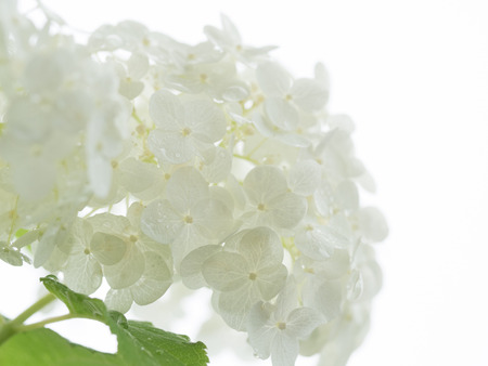 Beautiful white hydrangea Annabelle