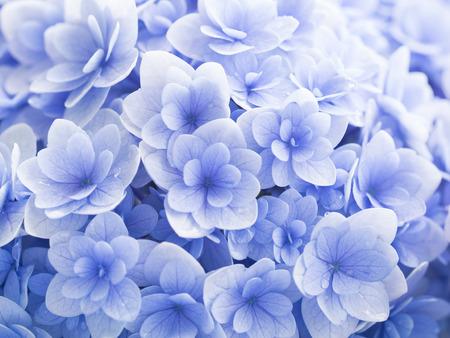 Beautiful pale blue hydrangea in rainy day Zdjęcie Seryjne