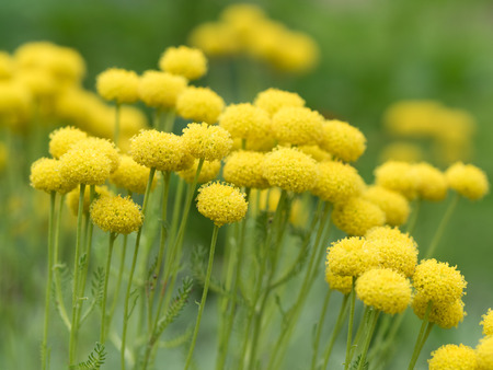 Yellow round Lavender cotton flower Zdjęcie Seryjne