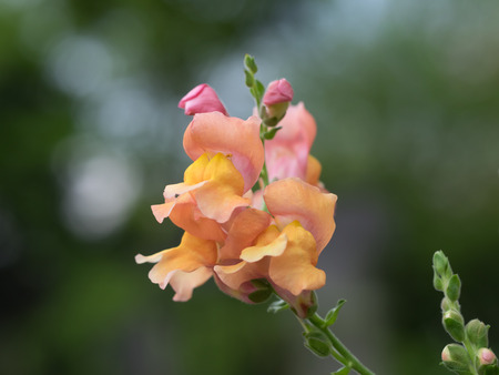 snapdragon:  Colorful Snapdragon in the summer flower bed Stock Photo