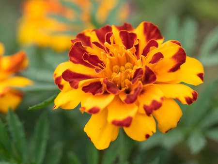 fascinating: Fascinating French marigold in summer