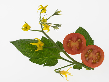 Flower and a leaf and fruit of the tomato on white background