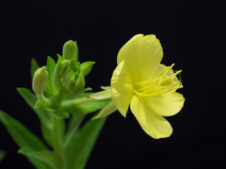 Evening primrose blooming at night from the evening photo