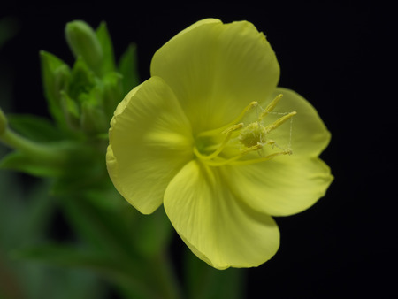 sundrops: Evening primrose blooming at night from the evening