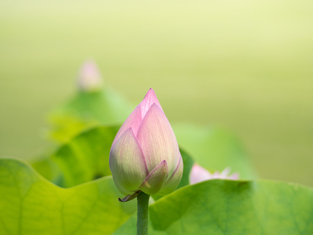 Bud of the beautiful pink lotus Stock Photo
