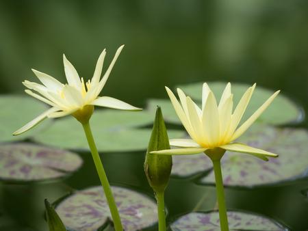 Beautiful yellow water lily Stock Photo